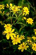 Bur Marigold at DeHart Botanical Gardens in Louisburg, NC.