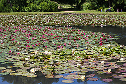 Englefield Green, UK. 27 June, 2019. Water lilies in flower on the Cow Pond, an ornamental lake gilded with four different types of water lily coloured white, pink, carmine red and gold in Windsor Great Park, on a warm, sunny June day. Temperatures are expected to rise in the south of England before the weekend as the heatwave intensifies still further in much of mainland Europe. The Cow Pond was renovated in 2012 to commemorate the Queen's Diamond Jubilee.