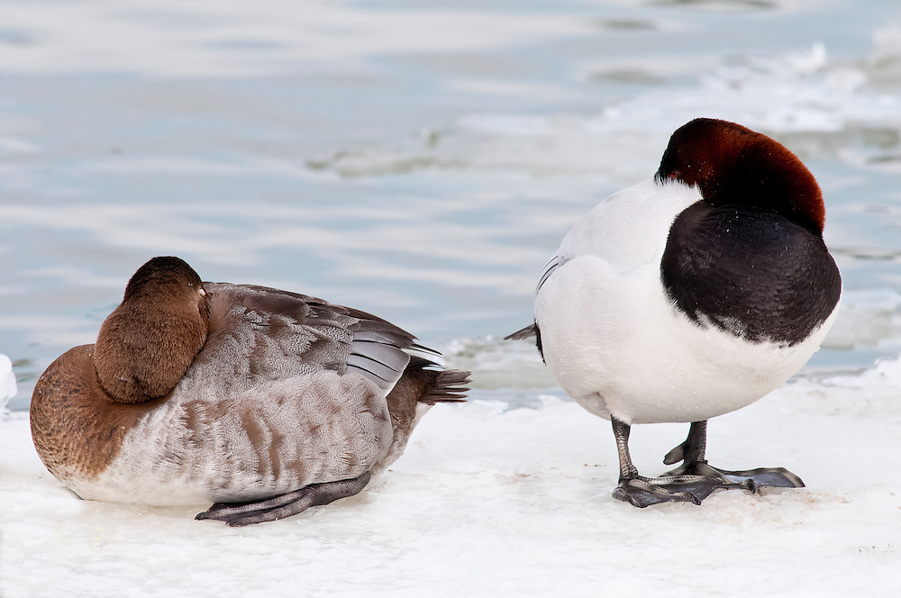 Canvasback, Aythya valisineria, male and female, Detroit River, Ontario, Canada