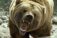Grizzly Bear also called Brown Bear, Alaskan Brown Bear or Kodiak Bear.