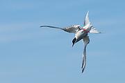 Arctic Tern prepares for a dive | Rødnebbterne gjør seg klar til et dykk