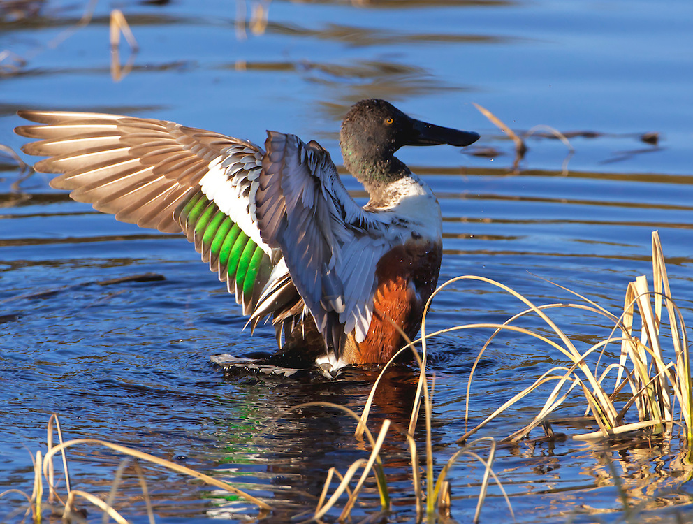 Alaska. Northern Shoveler (Anas clypeata) flapping its wings during a migration stopover in Denali National Park.