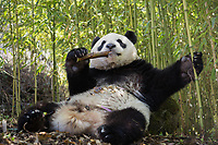 Giant panda, Ailuropoda melanoleuca, reclining in a bamboo grove eating.