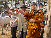 06 APRIL 2013 - SANPATONG, CHIANG MAI, THAILAND:  A Buddhist monk and farmer negotiate over a calf the monk bought at the livestock market in Sanpatong, Chiang Mai province, Thailand. The monk bought the calf to make merit and give it to a poor family in his temple. The buffalo market in Sanpatong (also spelled San Patong) started as a weekly gathering of farmers and traders buying and selling water buffalo, the iconic beast of burden in Southeast Asia, more than 60 years ago and has grown into one of the largest weekend markets in northern Thailand. Buffalo and cattle are still a main focus of the market, but traders also buy and sell fighting cocks, food, clothes, home brew and patent medicines.           PHOTO BY JACK KURTZ