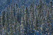 Snowfall on boreal forest<br />