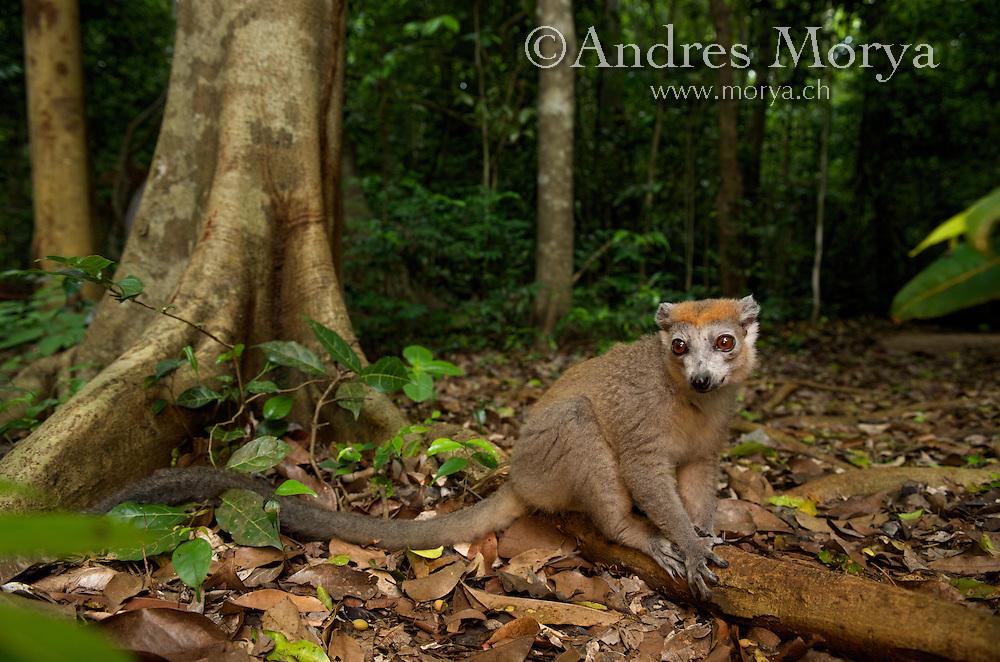 Crowned Lemur (Eulemur coronatus), Ankarana National Park, Northern Madagascar Image by Andres Morya