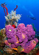 Grand Cayman - A diver swims past brightly-colored sponges on a dive site on the West side of the island.  Diver: Donald Parker Smith