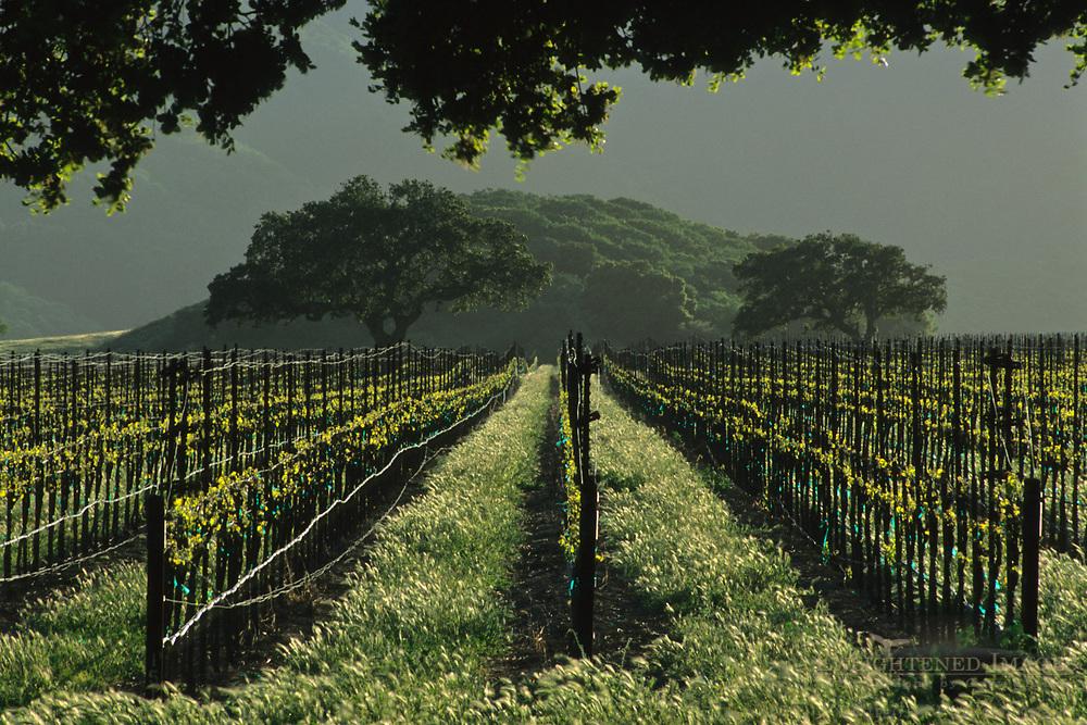 Vineyard in the foothills of the Sierra de Salinas, near Soledad, Monterey County, California