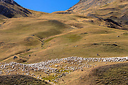 Mountain sheep and goats with shepherd in Val de Tena at Formigal in Spanish Pyrenees mountains, Spain