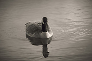 Black and white of Canada goose and reflection - Thea's Park, Tacoma, WA