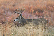 Mature mule deer buck in habitat