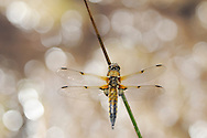 Four-spotted Chaser (Libellula quadrimaculata)<br /> Perching on a reed above a pool of water. <br /> Moine Mhor National Nature Reserve, Scotland.