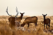 Elk herd, morning light, Grand Teton National Park