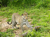 Cheetah playing with log