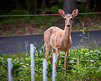 Young doe wondering why I am looking at her. Backyard spring nature in New Jersey. Image taken with a Fuji X-T2 camera and 100-400 mm OIS lens (ISO 200, 400 mm, f/6.4, 1/25 sec).