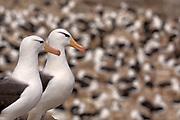 Black-browed Albatross (Thalassarche melanophrys), Steeple Jason Island, Falkland Islands.