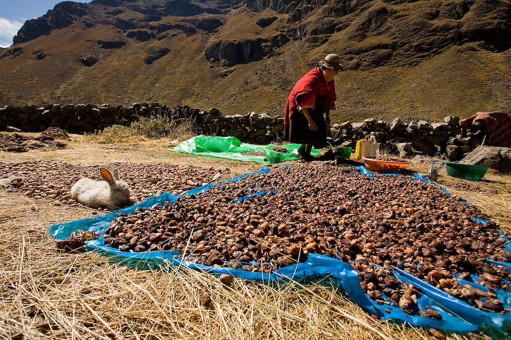 "A Quechua lady prepares ""chuno"" (a dehydrated potato) during winter which is right at the end of the harvest season in Bolivia's Apolobamba Range."
