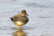 Drake Gadwall - Anas streperta walking in the water
