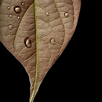 Doplets of water on a leaf in Las Escobas, coastal Guatemala