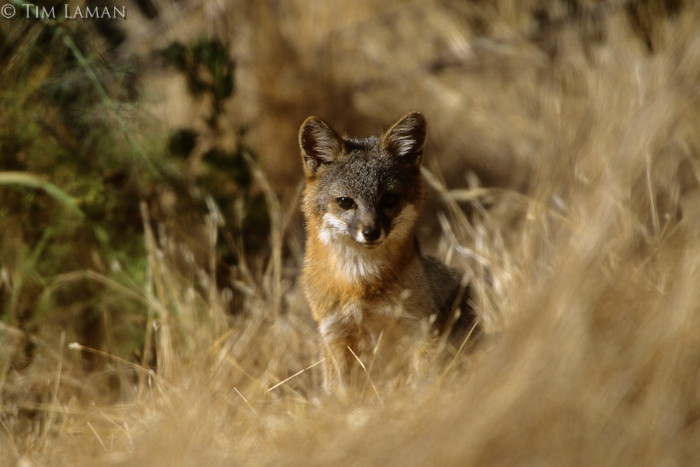 Island Fox (Urocyon littoralis) is endemic to Santa Cruz Island, California.  July 2002.