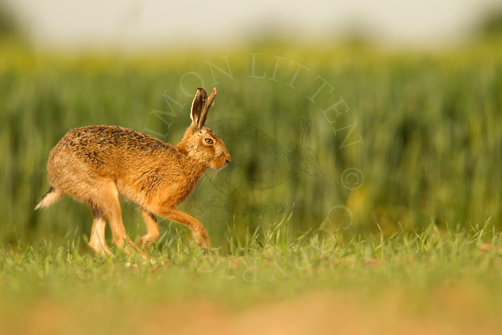 European Hare (Lepus europaeus) adult, running along field margin, Norfolk, UK.