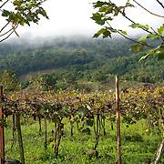 Paysage et vignoble brésilien.