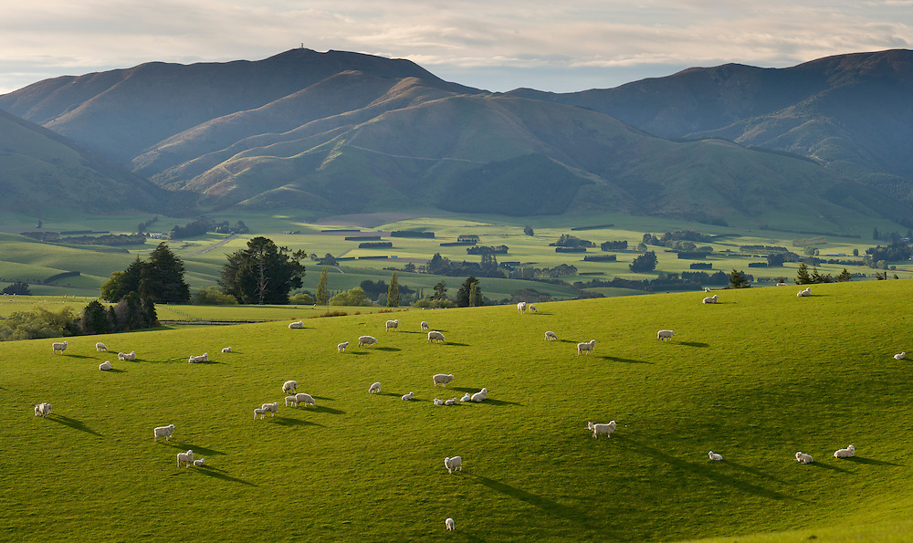 Sheep and lambs in lush green pasture.