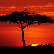 African Sunrise -  Masaii Mara - Kenya <br /> <br /> A silhoutted Flat-Top Acacia (Acacia abyssinica) tree adorns the fiery morning sky in the Masaii Mara as a group of Hartebeeste (Alcelaphus buselaphus) slowly pass by. The sunrises can be so beautiful in the Mara.  There is a brief period of time that only lasts for a few minutes where the whole sky lights on fire with this beautiful color just before and as the sun crests the horizon.  And then within just a few minutes, the color is gone.