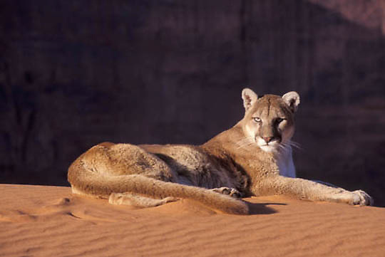 Mountain Lion or Cougar, (Felis concolor) In sand dunes of Monument Valley of northern Arizona. Captive Animal.