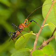 Assassin bugs use piercing, sucking mouthparts to feed, and have long, slender antennae. A short, three-segmented beak distinguishes Reduviidae from other true bugs, which generally have beaks with four segments. Their heads are often tapered behind the eyes, so they look like they have a long neck.