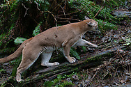 A full grown Mountain lion, some times called a cougar, panther or puma depending on which part of the country they live in.