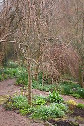 Cercidiphyllum japonicum f. pendulum in the woodland garden at Glebe Cottage. Pendulous katsura tree