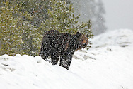 Adult Grizzly bear walking in snowstorm.