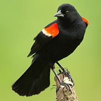 May 17, 2013 - Pleasant Hill, Kentucky, USA - A male red-winged blackbird keeps an eye over his territory at Shaker Village. (Credit Image: © David Stephenson/ZUMA Press)