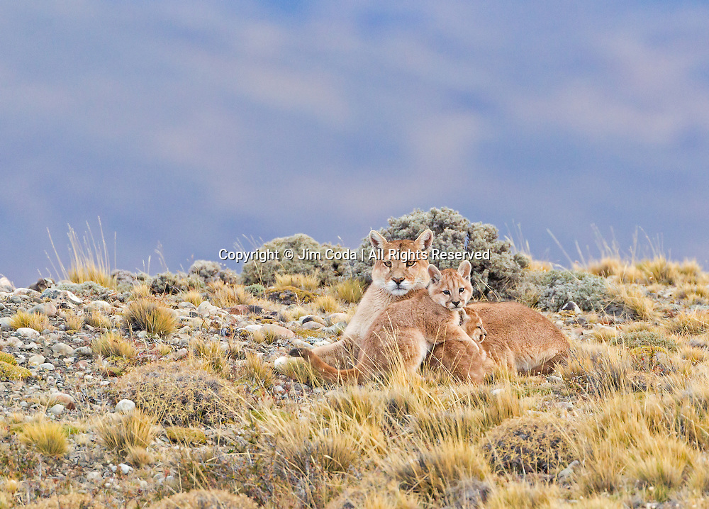 A mother puma rests in Torres del Paine National Park with two of her three kittens.