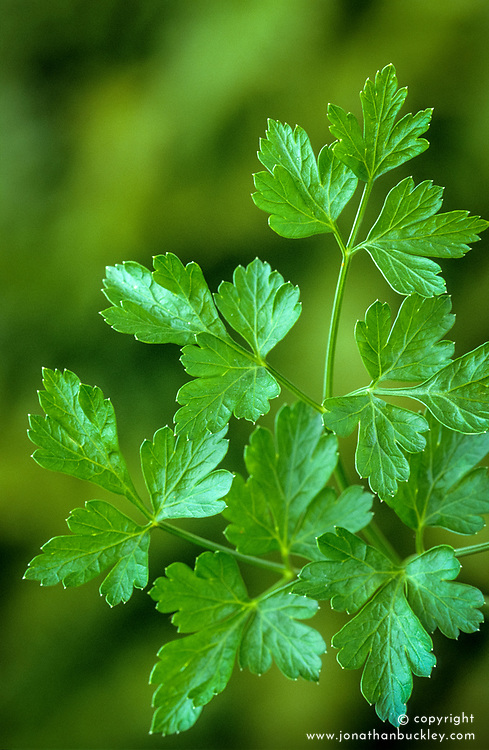Flat leaved parsley. Petroselinum neapolitanum