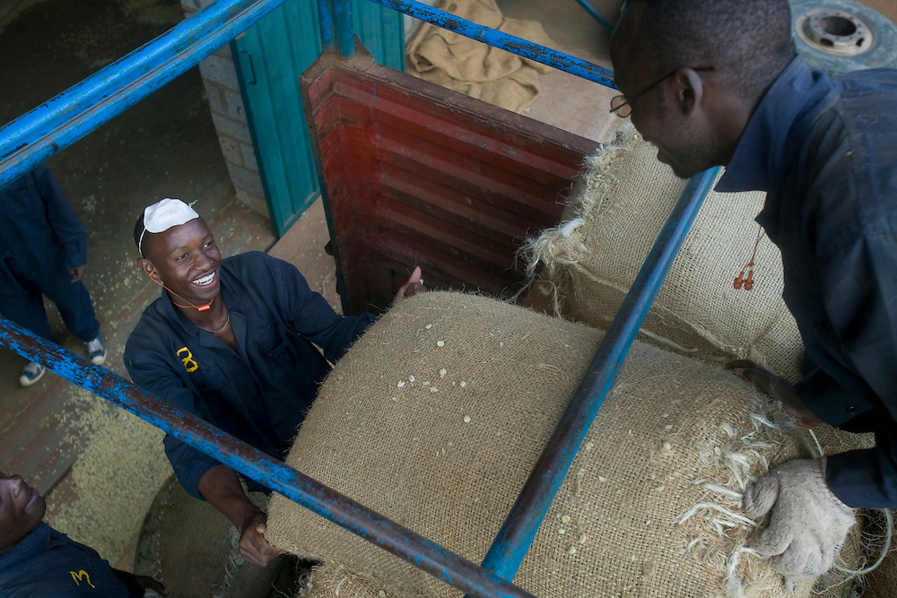 Africa, Kenya, Ruira, Workers unload bags of ripe Arabica coffee beans during harvest at  Socfinaf's Oakland Estates coffee plantation