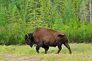 Wood bison (Bison bison athabascae) <br />