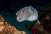 Guineafowl Puffer<br /> <br /> <br /> Shot at Cocos Island, Costa Rica