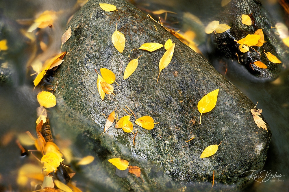 Fall cottonwood and aspen leaves on rock in Mosca Creek, Great Sand Dunes National Park, Colorado