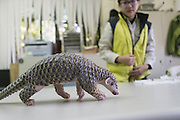 Chinese pangolin <br /> Manis pentadactyla<br /> Research assistant, Hsuan-yi Lo, with three-month-old orphaned baby (named Gung-wu). Gung-wu is the offspring of parents rescued from poachers.  <br /> Taipei Zoo, Taipei, Taiwan<br /> *Model release available