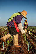 Monsanto workers on Molokai planting seeds.