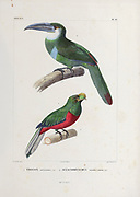 hand coloured sketch Top: blue-banded toucanet (Aulacorhynchus coeruleicinctis [Here as Aulacorhynchus coerulei-cinctis]) Bottom: crested quetzal (Pharomachrus antisianus [Here as Trogon antisianus]) From the book 'Voyage dans l'Amérique Méridionale' [Journey to South America: (Brazil, the eastern republic of Uruguay, the Argentine Republic, Patagonia, the republic of Chile, the republic of Bolivia, the republic of Peru), executed during the years 1826 - 1833] 4th volume Part 3 By: Orbigny, Alcide Dessalines d', d'Orbigny, 1802-1857; Montagne, Jean François Camille, 1784-1866; Martius, Karl Friedrich Philipp von, 1794-1868 Published Paris :Chez Pitois-Levrault et c.e ... ;1835-1847