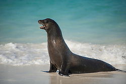 Seal singing on a sea shore.