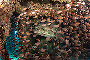 Goliath Grouper, Epinephelus itajara, and Glassy Sweepers, Pempheris schomburgkii, hide inside a submerged barge offshore Palm Beach County, Florida, United States.