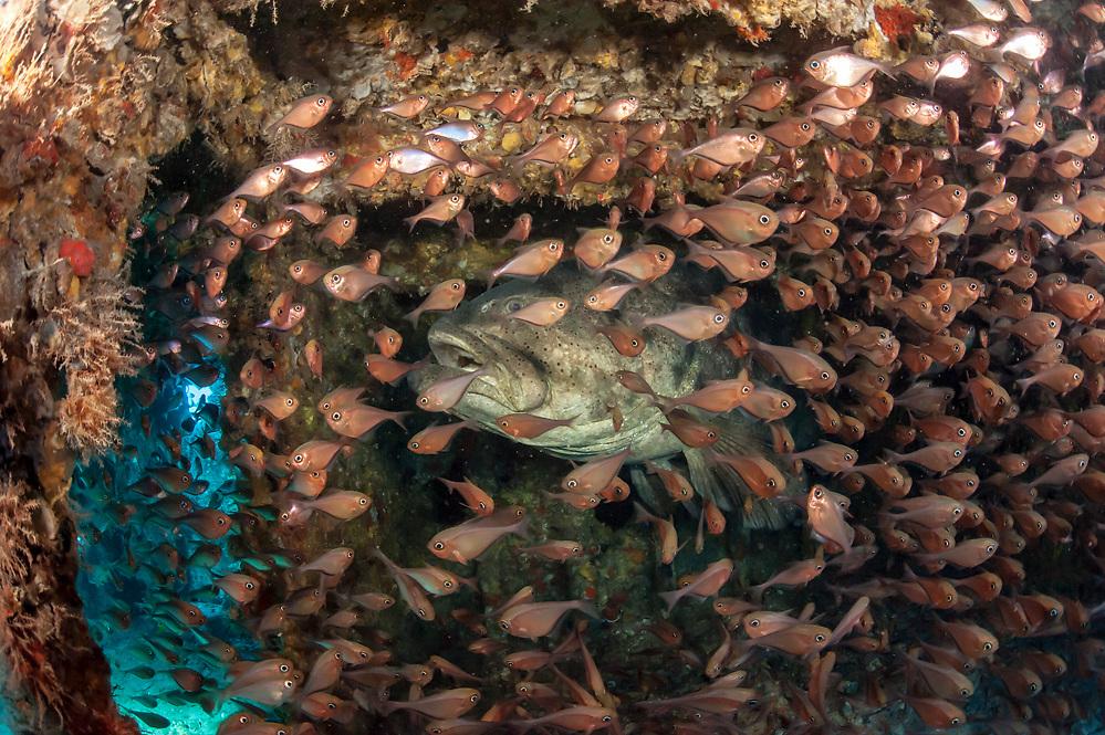 Goliath Grouper, Epinephelus itajara, and Glassy Sweepers, Pempheris schomburgkii, hide inside a submerged barge offshore Palm Beach County, Florida, United States.