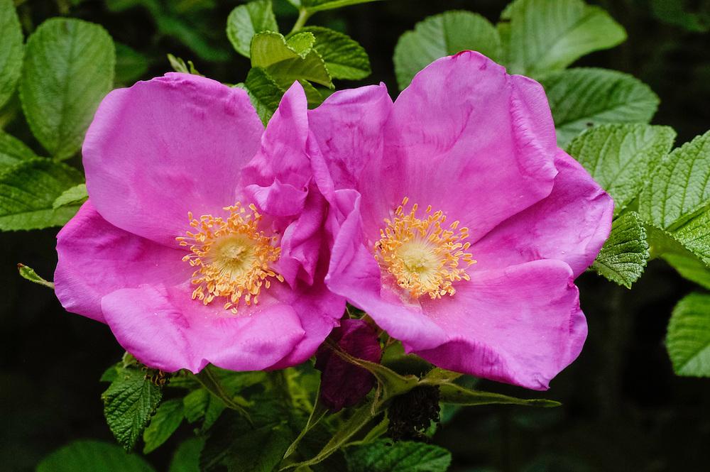 Rimpelroos, Rosa rugosa