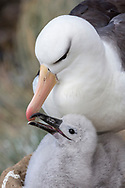Black-browed Albatross - Thalassarche melanophris - adult feeding chick