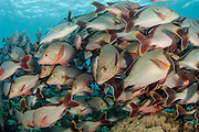 A school of Paddle-tail Snapper, Lutjanus gibbus, gathers in Tiputa Pass, Rangiroa Atoll, French Polynesia