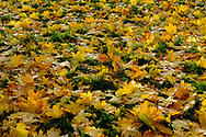Yellow maples  leaves on ground.